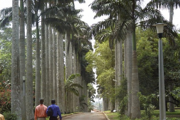 Aburi Royal palms